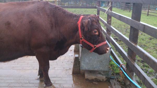 Mile9-cow