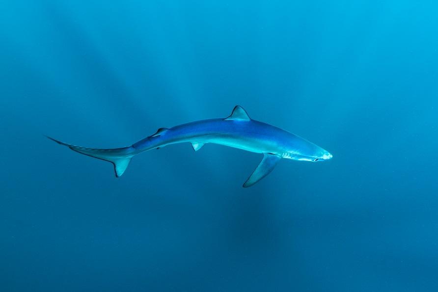 [Blue shark]