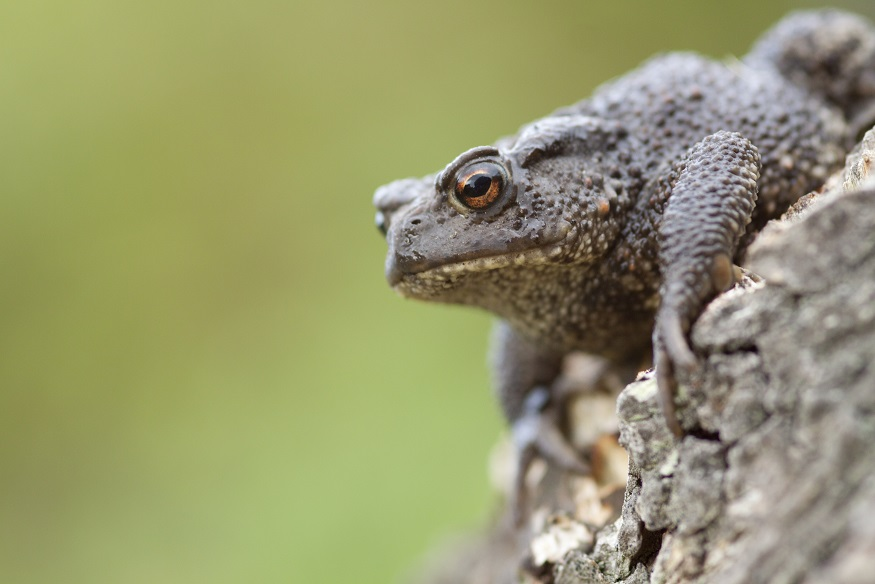 [Common toad]