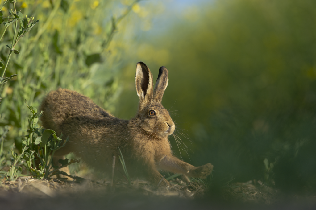 [Brown hare]