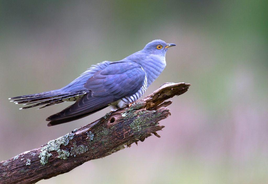 [Cuckoo]