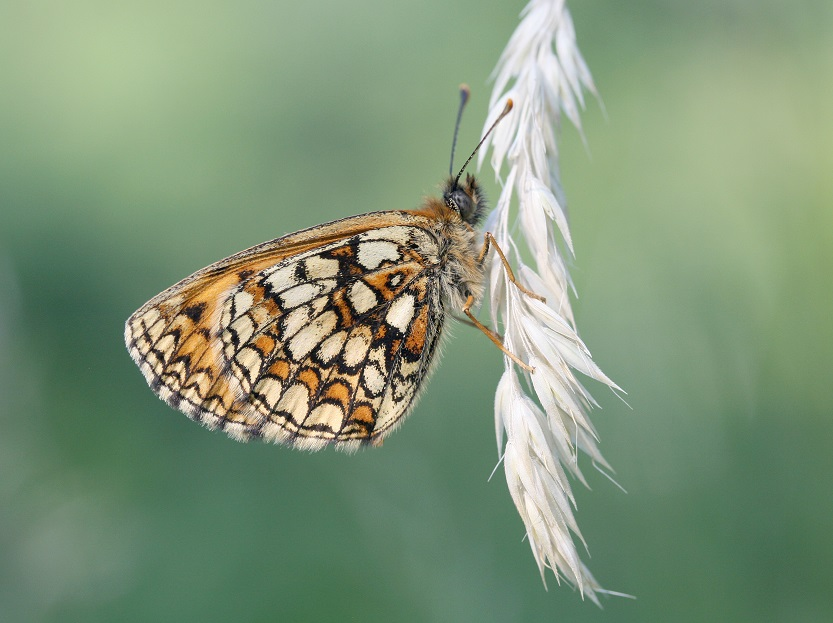 [Heath fritillary butterfly]