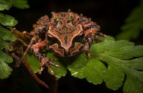 [Archey's frog]