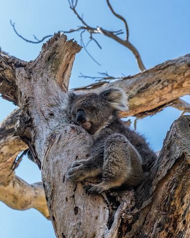 [Koala]