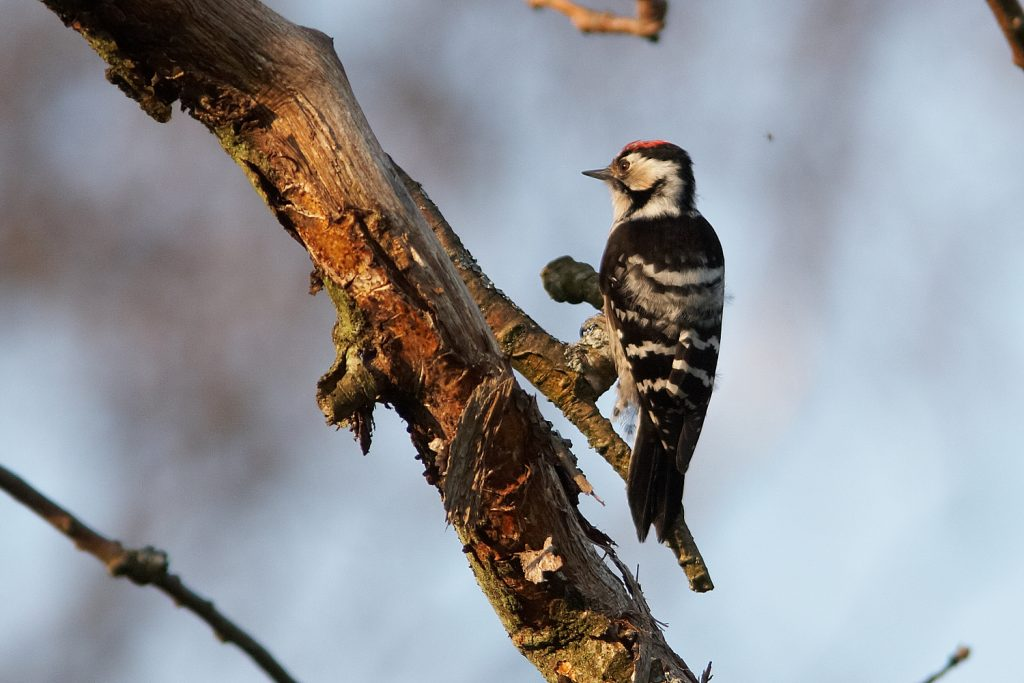 [Lesser spotted woodpecker]