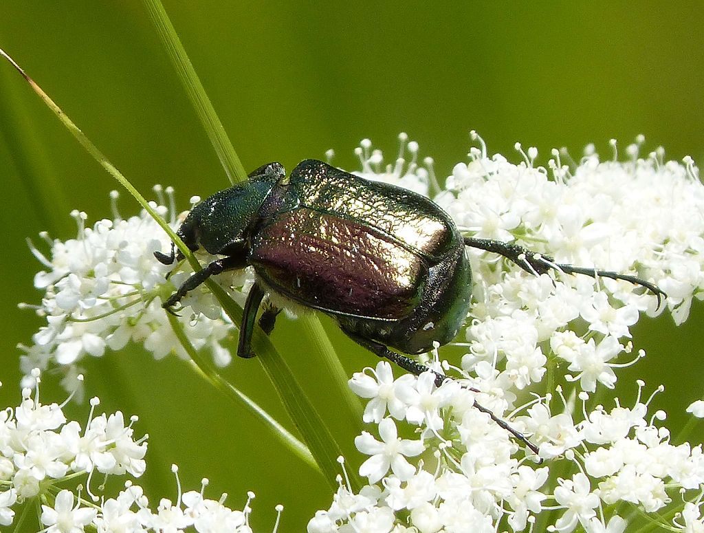 [Noble chafer]