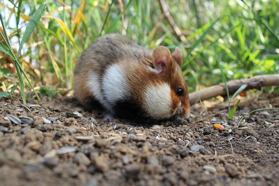 [Wild Hamster]