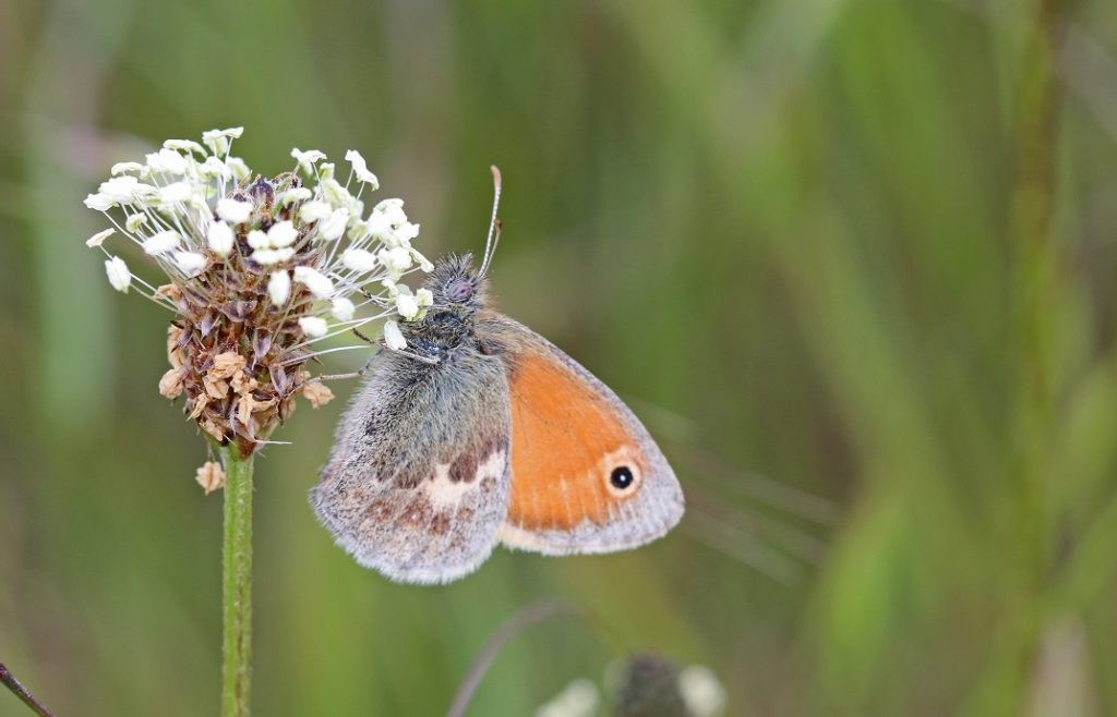 [Small heath butterfly]