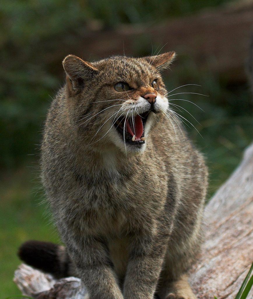 [Wildcat]