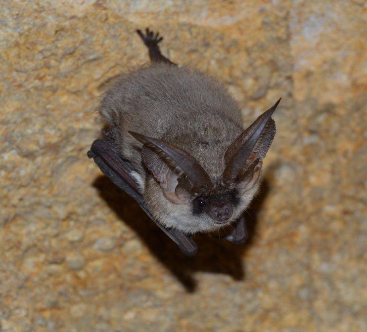 [Grey long-eared bat]