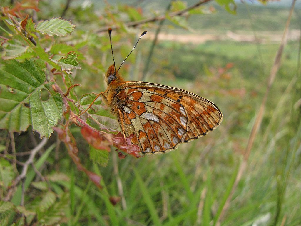 [Pearl-bordered fritillary butterfly]