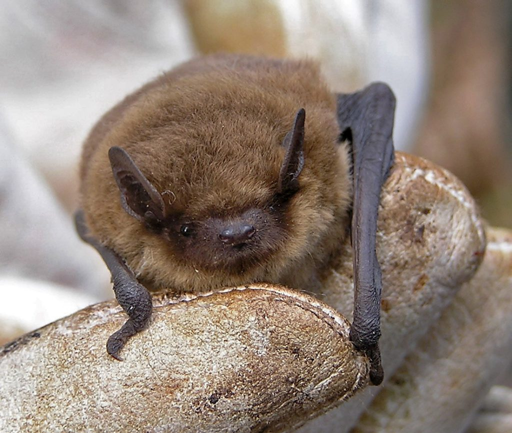 [Pipistrelle bat]