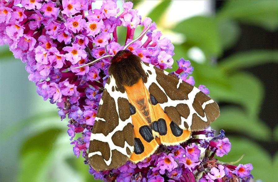 [Garden tiger moth]