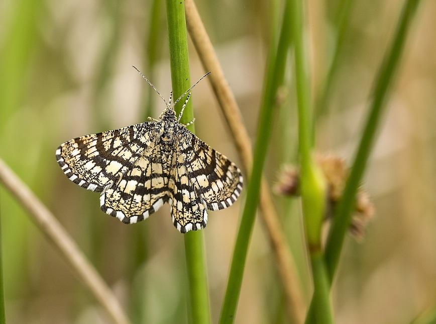 [Latticed heath moth]