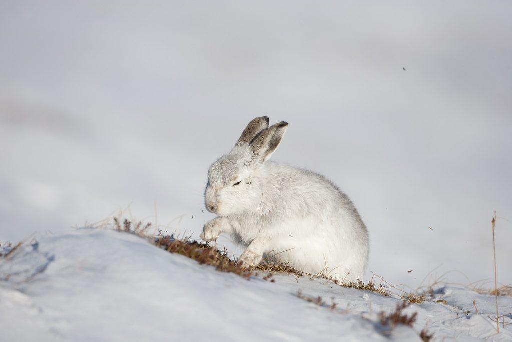 [Mountain hare]