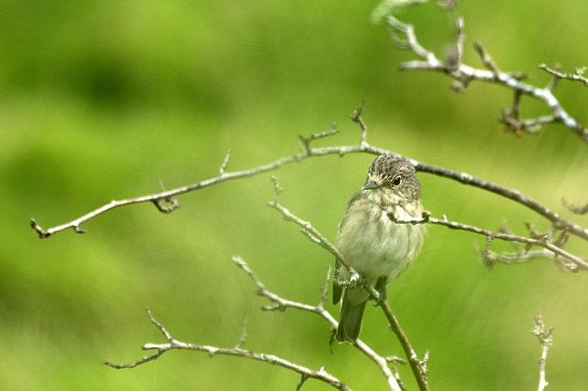 [Spotted flycatcher]