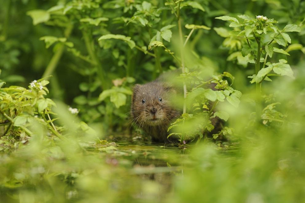 [Water vole]