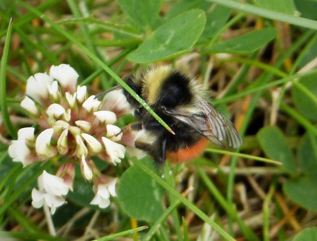 [Bilberry bumblebee]